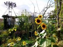 Wilder Garten mit Sonnenblumen mitten in Berlin