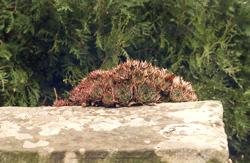 Dickblatt Pflanze,Sempervivum, Hauswurz