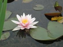 Seerose im Wasser