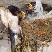 Rauchschwalbe füttert Junge im Nest