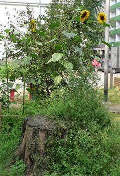 Sonnenblumen und Baumstumpf
