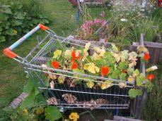 Kapuzinerkresse im Einkaufswagen