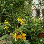 Sonnenblumen_Klein