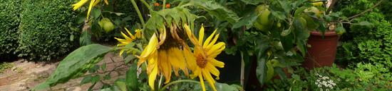 Sonnenblumen_Banner2