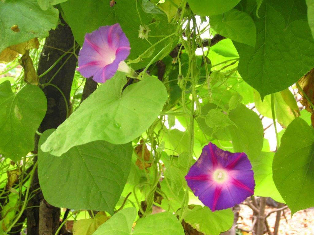 Farbenprächtig blühende Kletterpflanzen verzaubern den Hof und sind gut für das Klima.
