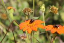 Hummeln und Fliege auf Zinnien