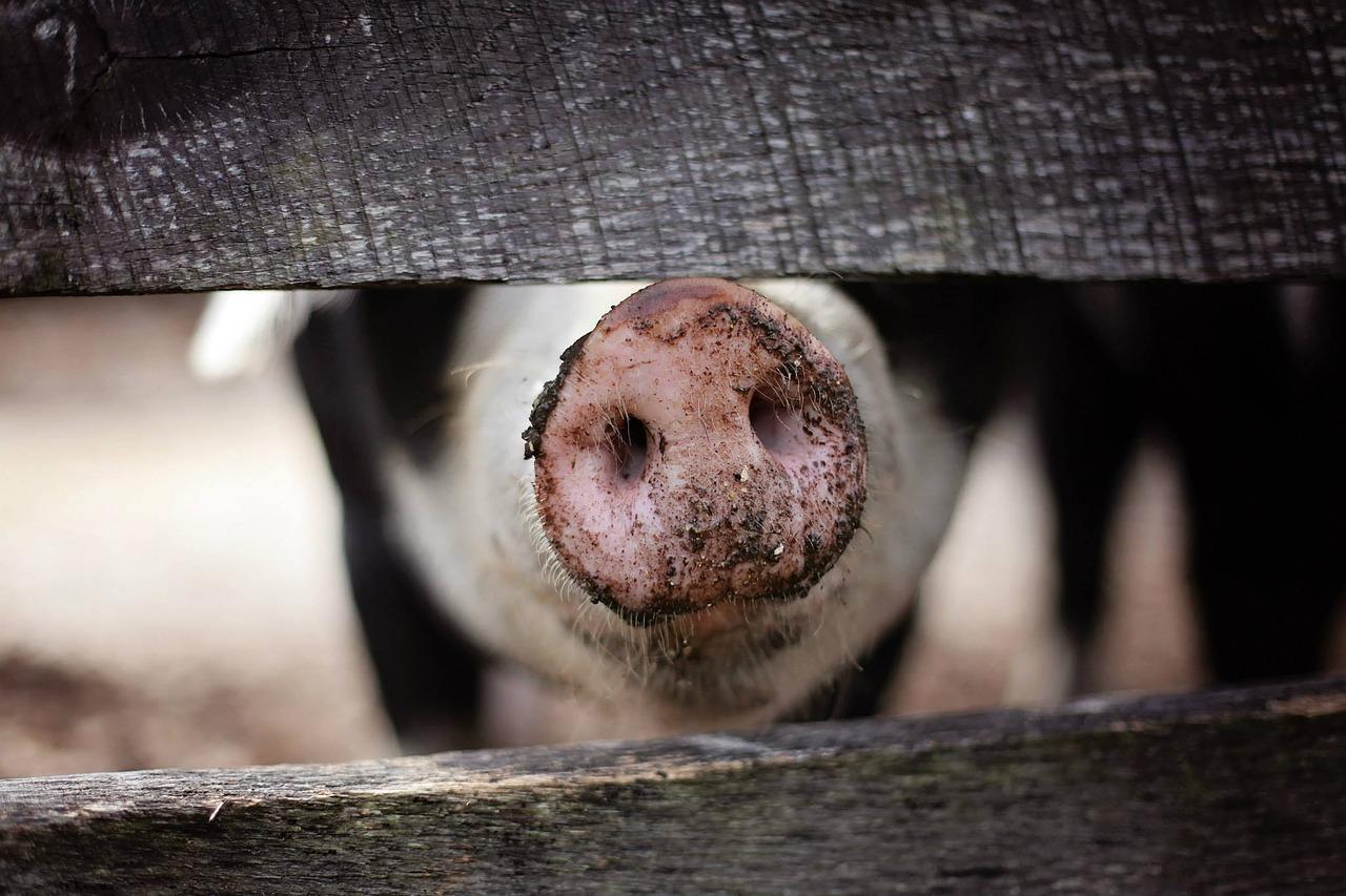 Schwein hinter dem Zaun