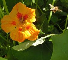 kapuzinerkressebluete und biene