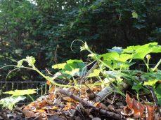 Komposthaufen auf Berliner Hinterhof